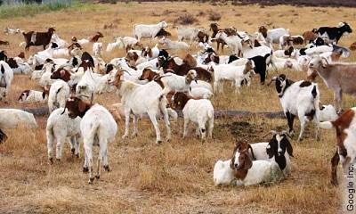 Weidende Schafe auf dem Google-Plex